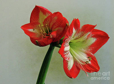 Photograph - Amaryllis 2 by Lydia Holly