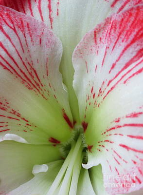Photograph - Amaryllis 3 by Randall Weidner