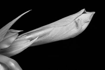 Photograph - Amaryllis About To Bloom In Black And White by James BO Insogna