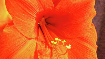 Photograph - Amaryllis by Allen Nice-Webb