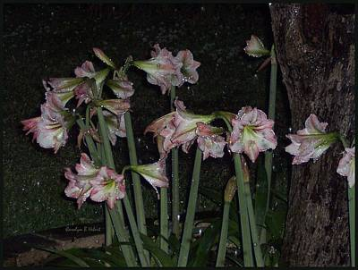 Wall Art - Photograph - Pink Amaryllis After Rain At Night by Carolyn Hebert