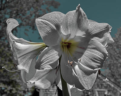Photograph - Amaryllis by Barry Doherty