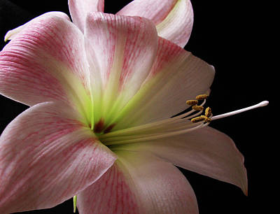 Photograph - Amaryllis Bloom by Nancy Griswold
