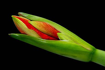 Striking Photograph - Amaryllis Budding by James BO  Insogna