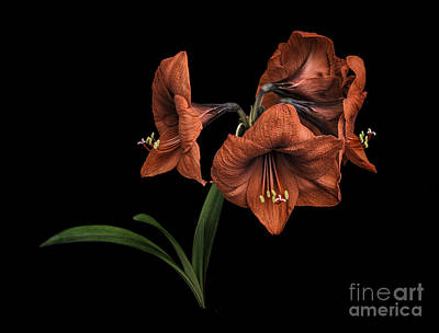Photograph - Amaryllis By Morning by Walt Foegelle
