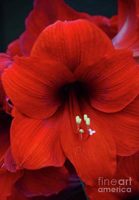 Photograph - Amaryllis by Cindy Manero