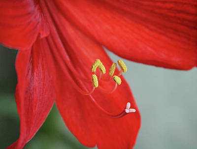 Photograph - Amaryllis. Close Up by Masha Batkova