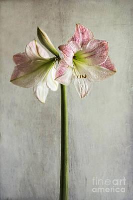 Photograph - Amaryllis by Elena Nosyreva