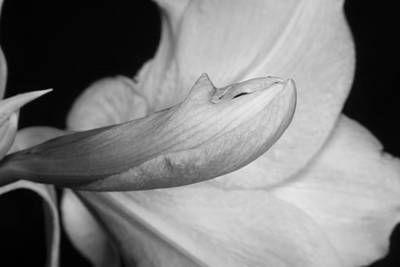 Photograph - Amaryllis Flower About To Bloom In Black And White by James BO Insogna