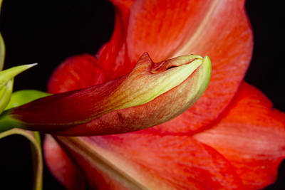 Photograph - Amaryllis Flower About To Bloom by James BO Insogna
