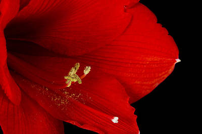 Photograph - Amaryllis  Flower Close Up  12-27-10 by James BO Insogna