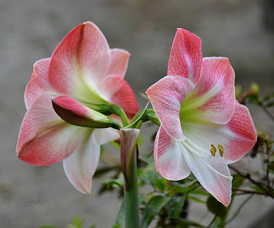 Photograph - Amaryllis Flower Fully Open by rd Erickson