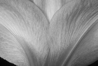 Photograph - Amaryllis Flower Petals In Black And White by James BO Insogna