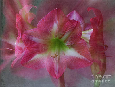 Photograph - Amaryllis 'gigantic Pink' by Ann Jacobson