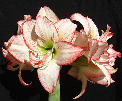 Photograph - Amaryllis Group by Frederic Kohli