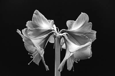 Photograph - Amaryllis In Black And White by Randy J Heath