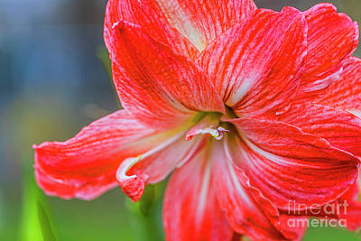 Photograph - Amaryllis In Bloom 20180228 5177t by Doug Berry