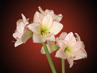 Photograph - Amaryllis In Full Bloom - Dramatic by Gill Billington