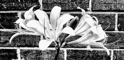 Photograph - Amaryllis Inspiration by Rachel Hannah