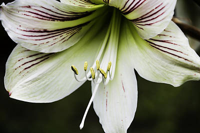 Photograph - Amaryllis, Laura Plantation, Vacherie, Louisiana by Chris Coffee