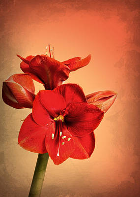 Amaryllis Art Print by Mark Rogan