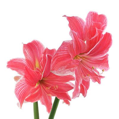 Photograph - Amaryllis On White by Gill Billington