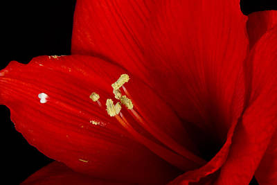 Photograph - Amaryllis  Pollen by James BO Insogna