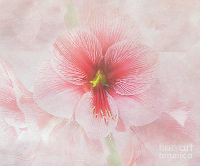 Photograph - Amaryllis 'purple Rain' II by Ann Jacobson