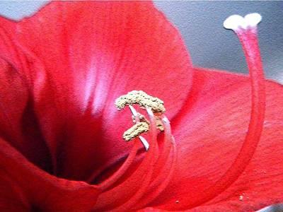 Photograph - Amaryllis Upclose by Beth Akerman