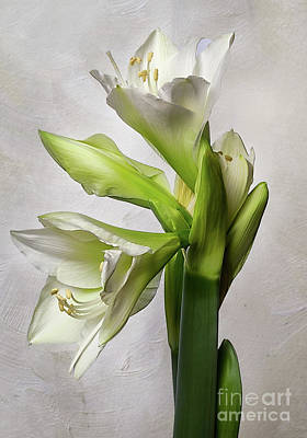 Photograph - Amaryllis 'wedding Dance' by Ann Jacobson