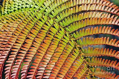 Amaumau Fern Frond Art Print by Greg Vaughn - Printscapes