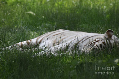 Photograph - Amazing Capture Of A Sleeping White Bengal Tiger by DejaVu Designs