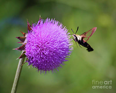 Photograph - Amazing Insects - Hummingbird Moth by Kerri Farley