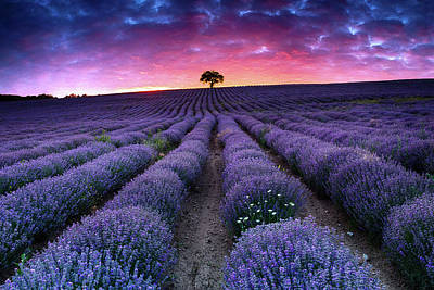 Photograph - Amazing Lavender Field With A Tree by Evgeni Dinev