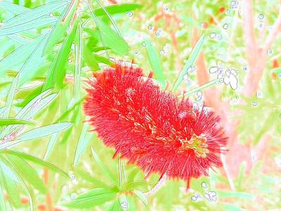 Photograph - Amazing Red Bottle Brush Bloom by Belinda Lee
