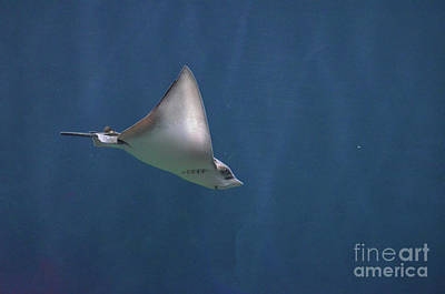Amazing Stingray Underwater In The Deep Blue Sea  Art Print