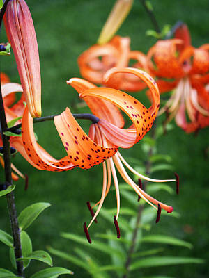 Amazing Tiger Lily Print by Marilyn Hunt