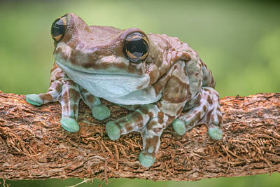 Photograph - Amazon Milk Frog by Nikolyn McDonald