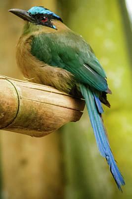 Photograph - Amazonian Motmot Barranquero Parque Del Cafe Colombia by Adam Rainoff