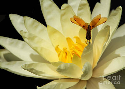 Photograph - Amber Dragonfly Dancer Too by Sabrina L Ryan