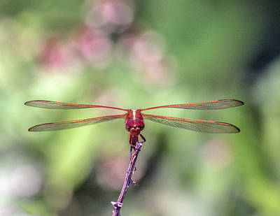 Photograph - Amber Dragonfly by William Bitman