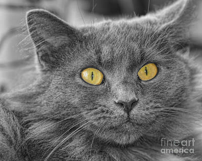 Photograph - Amber Eyes Cat by Olga Hamilton