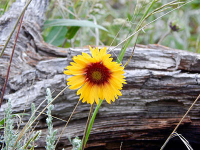 Photograph - Amber Wheels Blanket Flower by Dan Miller