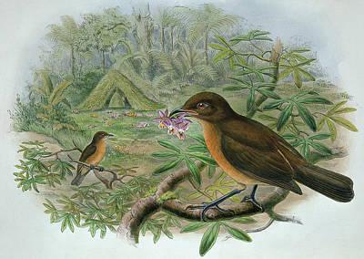 Mouth Drawing - Amblyornis Inornatus by John Gould
