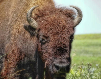 Photograph - Amercian Bison On The Prairie by Ann Powell