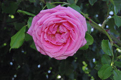 Photograph - America Climbing Rose by Robyn Stacey