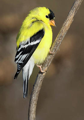 Photograph - America Goldfinch Glow by Art Cole