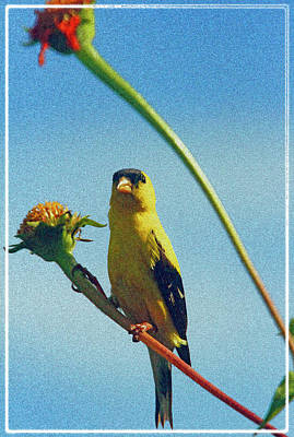 America Goldfinch On Gayfeather Art Print by Geraldine Scull