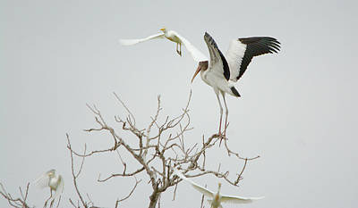 Photograph - Americal Wood Stork Gets Pat On The Head by Roy Williams