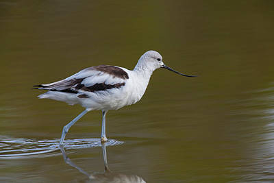 Photograph - American Avocet by David Watkins